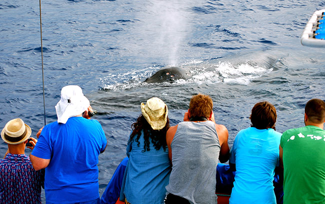 Whale Watching Up Close And Personal In Hawaii 3